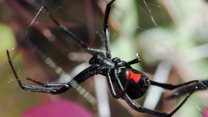 Irmãos são picados por Viúva Negra para terem poderes do Homem Aranha